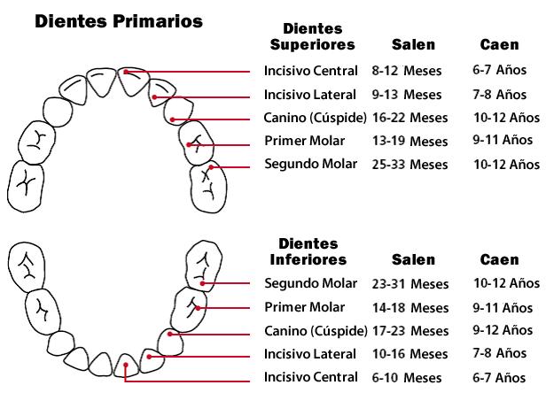 Dentición: Orden de Aparición - Gráfico de la Dentición | Orajel™