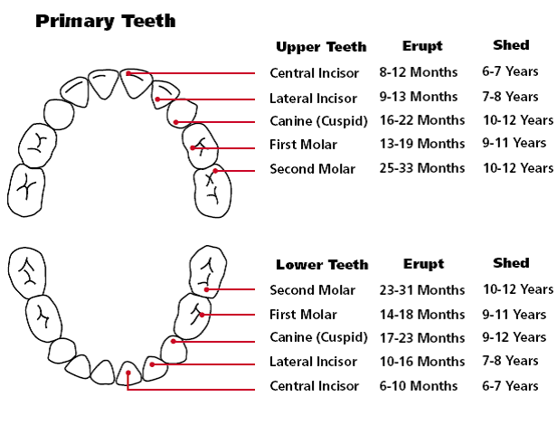 Teething order of appearance teething chart orajel